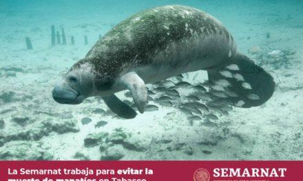 Revelan causa científica de muerte de manatíes en Tabasco